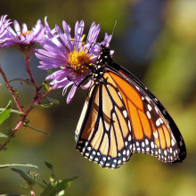 A monarch butterfly feeding from a flower.