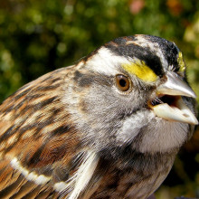 picture of a white-throated sparrow