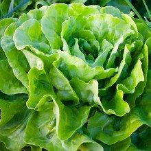 lettuce crop in the soil