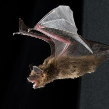 The techniques used by bats to navigate space in three dimensions are becoming clearer.