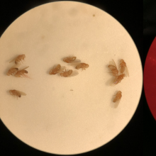 """Shown here in drosophila, a """"gene drive"""" is a gene editing technique that biases the inheritance of a genetic element or trait so that it rapidly increases in frequency in a population."""