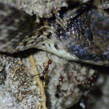 Ant befriends snake