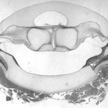 An isolated larynx with intact elastic cartilage septa from the frog Xenopus boumbaensis