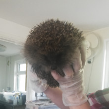 A European hedgehog being held by a carer