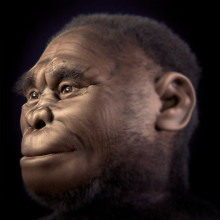 Reconstruction of female Homo floresiensis