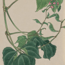 Illustration of a pea plant