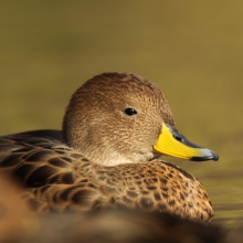 Pintail Duck on water