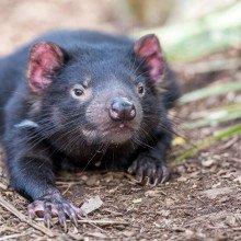 tasmanian devil, Sarcophilus harrisii