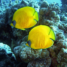 Two Butterfly Fish