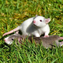 Young rats