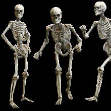 Human skeletons