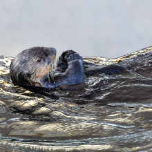 An otter floating on its back.