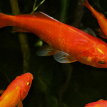 Goldfish in pond