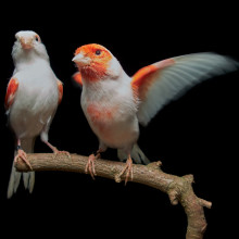 A female (left) and male (right) mosaic canary.