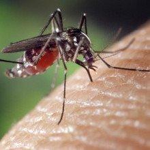 Female Aedes albopictus mosquito on skin