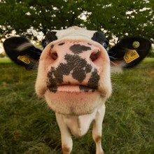 A fresian cow