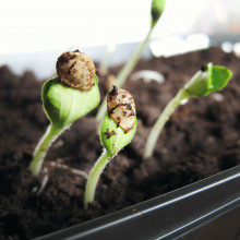 seeds germinating
