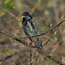 A starling sitting on a thorny branch.