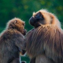 primates grooming