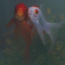 Goldfish pair
