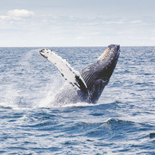 diving whale