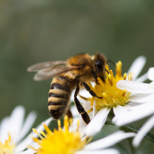 A neonic pesticide is causing a wide scale decline in bees