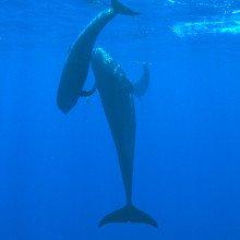 Pilot Whales, mother and calf, Kona, Hawaii.