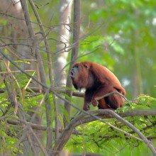Venezuelan red howler (Alouatta seniculus)
