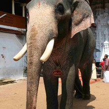 An Asian Elephant named Sri Hari during Sree Poornathrayesa temple festival, Thrippunithura, Kerala, South India.