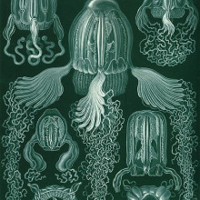 Haeckel box jellyfish