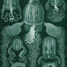 Haeckel box jellyfish