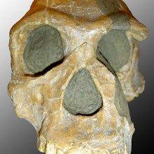Skull of Homo Habilis