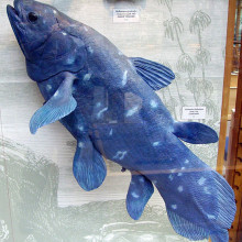 The Coelacanth, Latimeria chalumnae model in the Oxford University Museum of Natural History