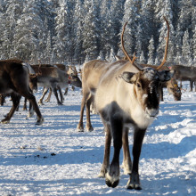 Reindeer can't eat carrots, but they can have red noses.