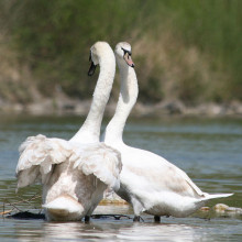 The Mute Swan (Cygnus olor) is a common Eurasian member of the duck, goose and swan family Anatidae.