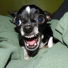 A Chihuahua protecting its bone.