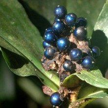 Pollia condensata - the brightest thing in nature