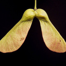 Acer pseudoplatanus - Helicopter Seeds