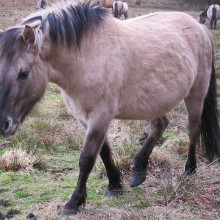 Konik, displaying dorsal line & other physical features