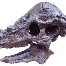 Pachycephalosaurus skull
