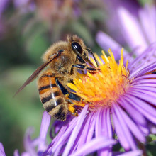 European honey bee (Apis mellifera) extracts nectar from an Aster flower using its proboscis. Tiny hairs covering the bee's body maintain a slight electrostatic charge, causing pollen from the flower's anthers to stick to the bee, allowing for...