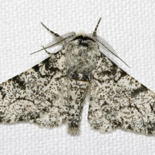 The light Peppered Moth (Biston betularia).