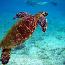 A green turtle, Chelonia mydas in Hawaii