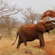 African elephant throwing dust over itself