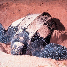 Adult Dermochelys coriacea, Leatherback Sea Turtle