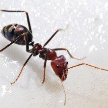 Meat Eater Ant feeding on honey