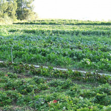 Organic cultivation of mixed vegetables on an organic farm in Capay, California.