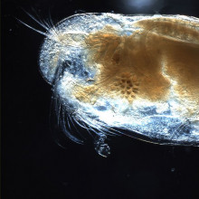 Ostracods, or ostracodes, are a class of the Crustacea (class Ostracoda), sometimes known as seed shrimp.