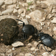 Dung Beetle - Scarabaeus laticollis