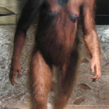 Reconstruction of an Australopithecus afarensis
